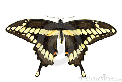 Reuze Swallowtail