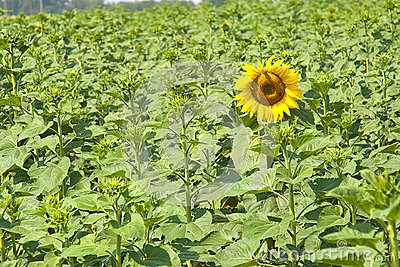 The revealed sunflower