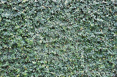 rev tement de mur de plante grimpante image libre de droits image 13240856. Black Bedroom Furniture Sets. Home Design Ideas