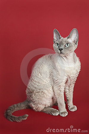 Rex Девона кота