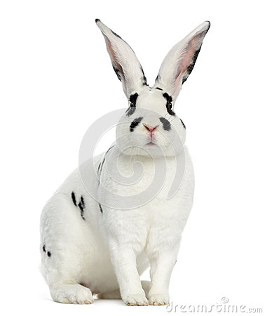 Free Rex Dalmatian Rabbit Isolated On White Stock Photography - 68741002