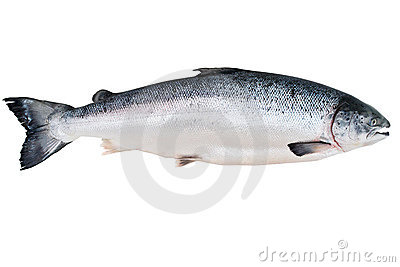 Rey salmón de Alaska
