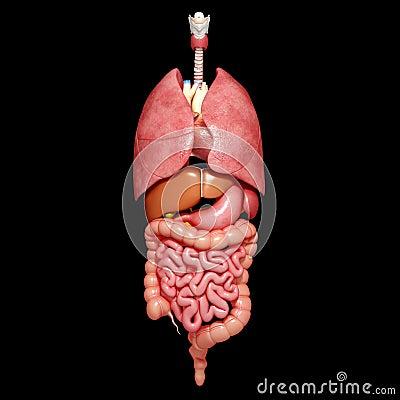 Anatomia orgaos humanos