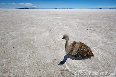 Rhea on salt flats in Bolivian Andes