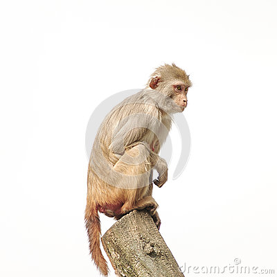 Free Rhesus Macaque In Close-up During Natural Behavior, Isolated Stock Image - 40953751