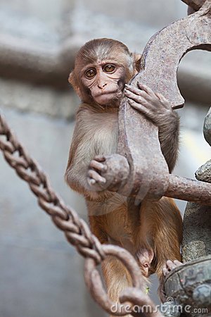 The rhesus macaque monkey