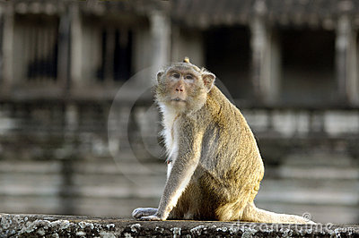 Rhesus monkey at Angkor Wat