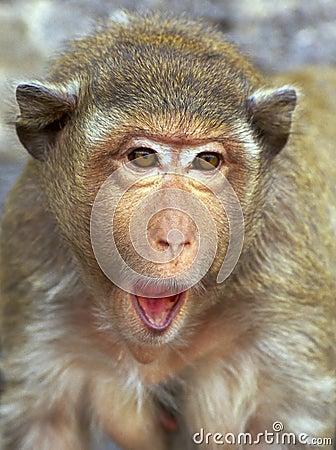 Rhesus monkey portrait - surprise Stock Photo