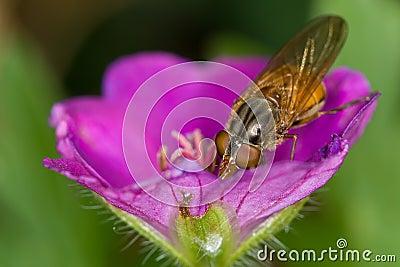 Rhingia (syrphid) geranium 1