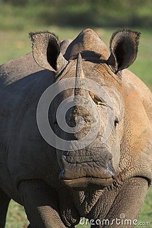 Free Rhino Royalty Free Stock Photography - 1253967