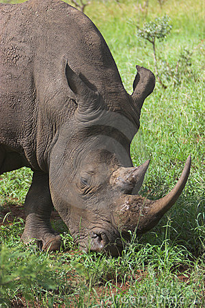 Free Rhino Royalty Free Stock Image - 2300216
