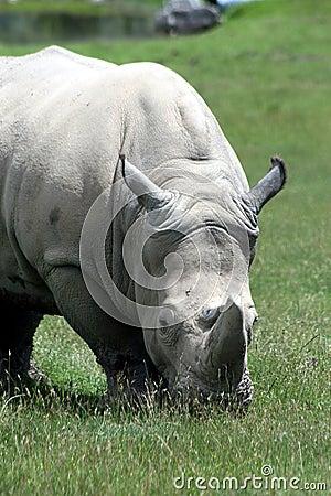 Free Rhino Royalty Free Stock Image - 7009876
