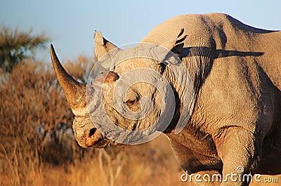Rhino, Black - Endangered African Mammal