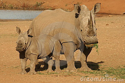 Rhino with calf