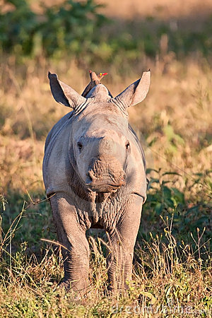 Free Rhino  Calf In Nature Green Grass Royalty Free Stock Photo - 20686355