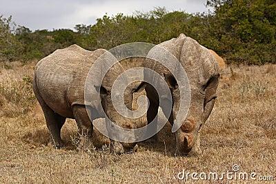 Rhino cow and bull.