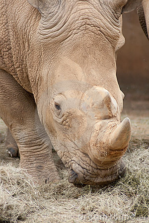 Free Rhino Eating Royalty Free Stock Photography - 8278727