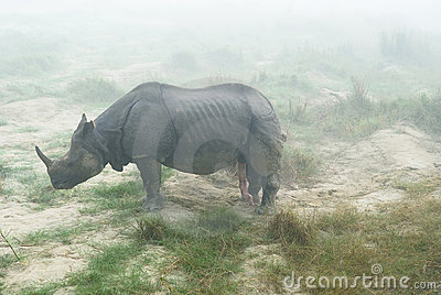 Rhino with erect penis