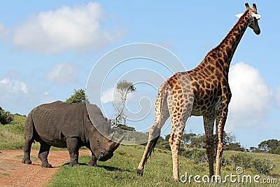 Rhino and Giraffe interaction