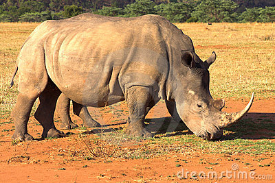 Rhino grazing in dry field.