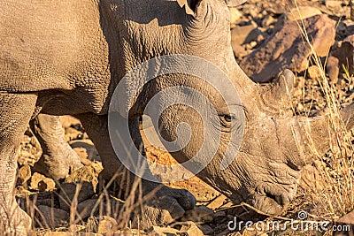 A rhino grazing
