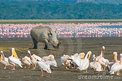 Rhino in lake nakuru national park, kenya