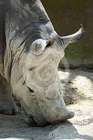 Rhino with no horn portrait