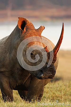 Rhino Pose