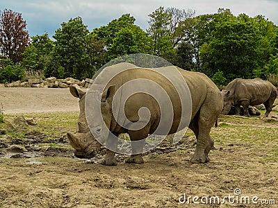 Ungulate Zoo Rhino Stock Pho...