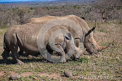 Rhinos Mother Youngster Wildlife