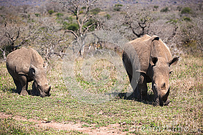 Rhinos Mother Cub Wildlife