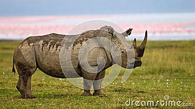 Rhino standing near the lake