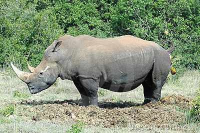 Rhino on toilet