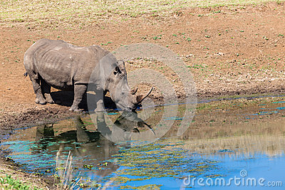 Rhino Water Mirror Reflection