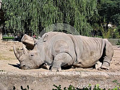 Rhino in zoo 2