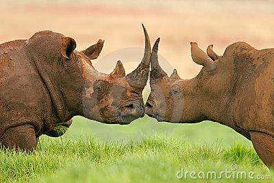 Африки rhinoceros белизна на юг
