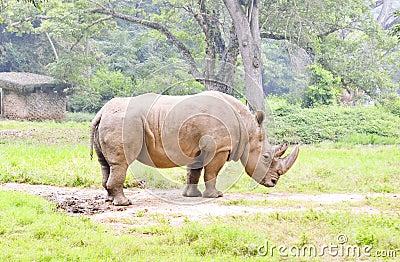 Rhinoceros,