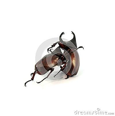 Free Rhinoceros Beetle Royalty Free Stock Images - 60324149