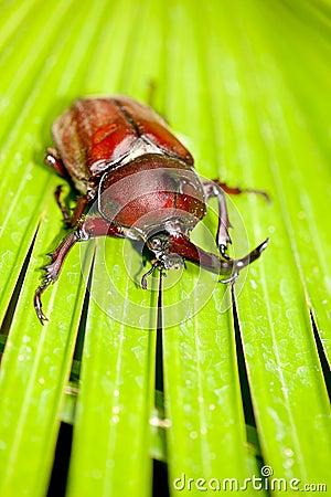 Rhinoceros beetle (Allomyrina dithotomus)