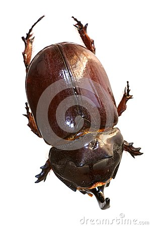 Rhinoceros beetle from on high