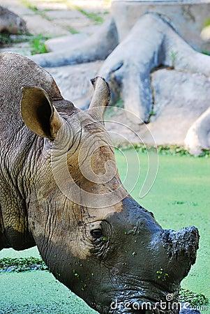 The Rhinoceros (close up)