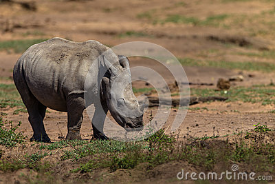Rhinoceros Cub Alone Wildlife