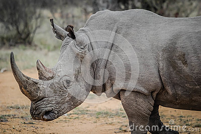 Rhinoceros In Field Free Public Domain Cc0 Image