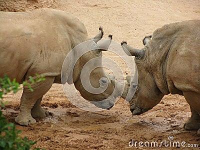 Rhinoceros locking horns