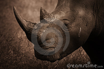 Rhinoceros Profile, Sepia