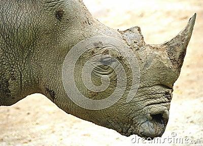 Rhinoceros or rhino