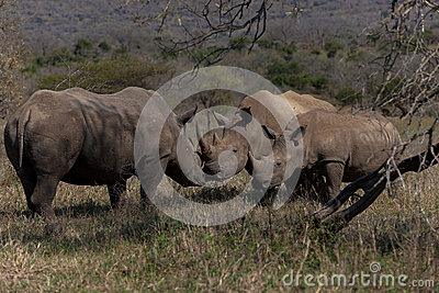 Rhinos Affections Calf