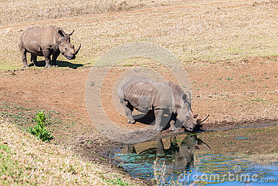 Rhinos Wildlife Water Drinking