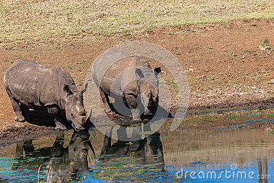 Rhinos Wildlife Water Mirror