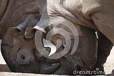 Rhinos fight